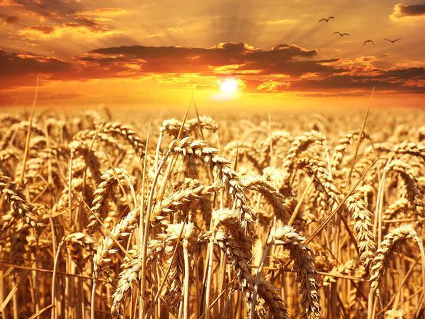 nawożenie zbóż