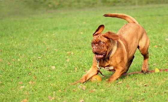 smycz dla dużego psa